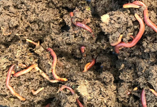 Red wrigglers work well in vermicomposting.