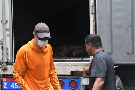 Bow and arrow hunter Michael Orr, left, turns in the second of two pigs he harvested in the Marbo Cave area for the Guam Pig Hunting Derby 2020.