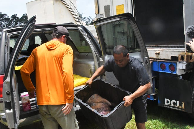 Bow hunter Michael Orr, left, turns in the second of two pigs he harvested in the Marbo Cave area for the Guam Pig Hunting Derby 2020, hosted by the Department of Agriculture. At right is Agriculture's Carlos Quintanilla, who loaded it into a donated container chiller.