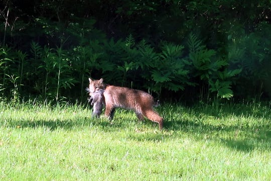 This bobcat was seen in Shelburne, Vermont, a block from the school on Sunday, May 31, 2020.