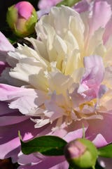 Few scents are as rich and ecstatic as early-June peonies in full bloom.