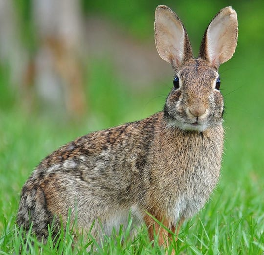 The Eastern Cottontail.