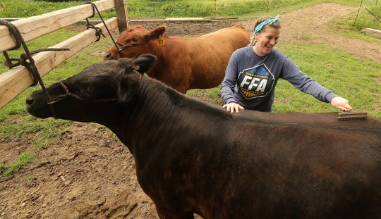 Rebecca DePoe, 17, brushes her steers Jackson, front, and Alvin at her home in South Kitsap on Tuesday.