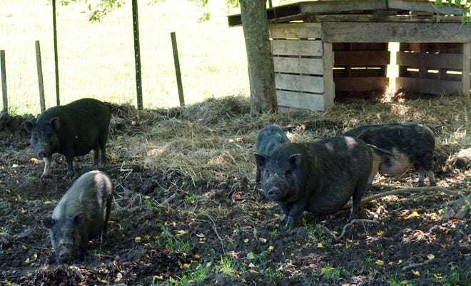 Five American Guinea hogs have been added to the animals at Robbins Crossing on the Hocking College Campus in Nelsonville. The hogs will become part of the interpretive experience at Robbins Crossing when it reopens. They'll be cared for by students in the school's agroecology program.