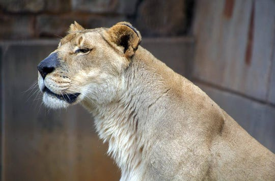 Saba, an African lion at the Abilene Zoo, died on Wednesday, June 3, 2020.
