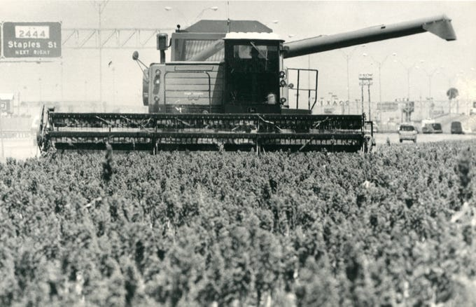 A combine moves through a sorghum field off South Padre Island Drive between Everhart Road and Staples Street in 1984.