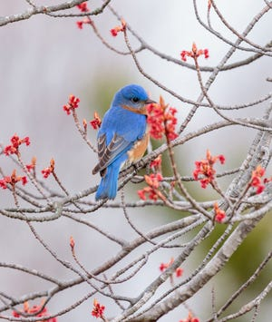 Brilliant blue and orange feathers clearly distinguish the good-natured bluebird.