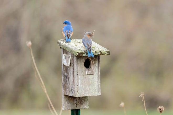 A male eastern bluebird guards its nesting box while the less-colorful female builds the nest in April at Shoop Park Golf Course, north of Racine on the shores of Lake Michigan.