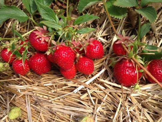 Strawberries at southeast Wisconsin farms will likely be ready for picking in mid-to-late June.