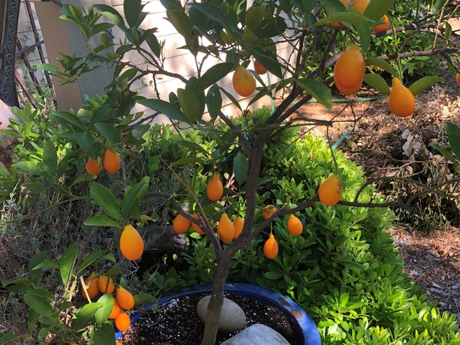 Citrus is sensitive to changes in temperature Redding experienced this spring.