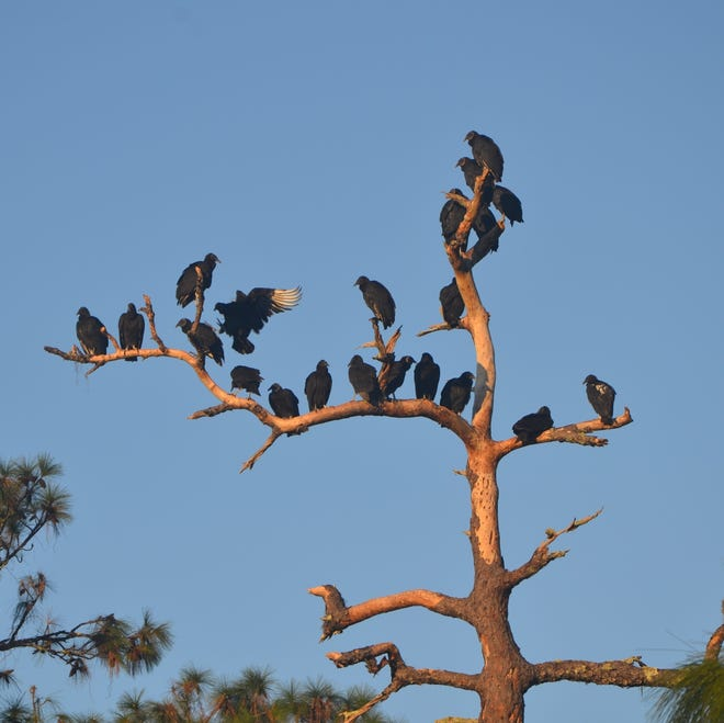 Black buzzards roost high in family units to maintain a safe distance from potential predators. They are always searching for the opportunity to serve the human residents of the area, and a good meal.