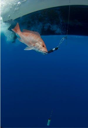 A descending device is deployed to help return a red snapper to the sea floor where it has a much higher rate of survival.