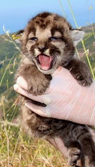 P-54, a 3-year-old mountain lion living in the Santa Monica Mountains, recently gave birth to a litter of kittens.