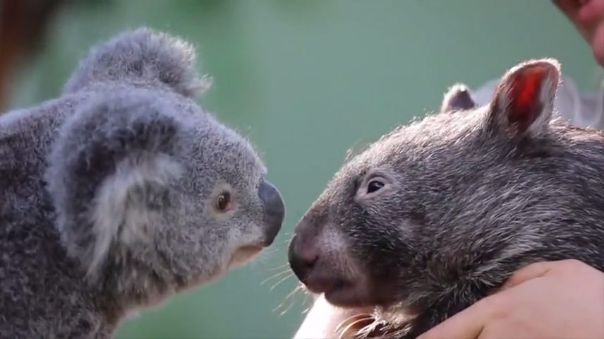 Koala and wombat became best friends during quarantine