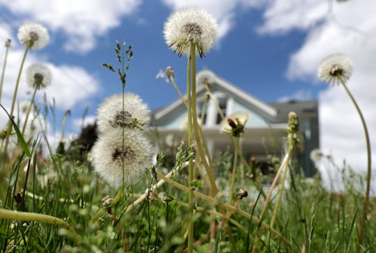 Grass and dandelions grow tall during Appleton's No Mow May initiative.