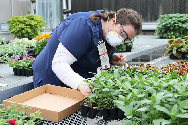 UnityPoint Health Nursing Supervisor Emily Miltenberger of Des Moines takes a closer look at plants grown by DMACC Horticulture Program students inside the DMACC greenhouse on the College's Ankeny Campus. DMACC recently invited UnityPoint health care workers to visit the greenhouse, with protective gear and social distancing in place, and choose from a wide variety of spring bedding plants and annuals in packs, pots and hanging baskets to take home and enjoy, free of charge (photo credit: Lisa Schmitz/DMACC).