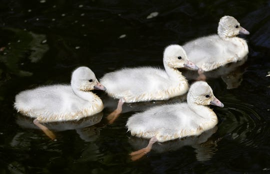 Baby trumpeter swans are some of the new faces that will greet visitors when NEW Zoo reopens.