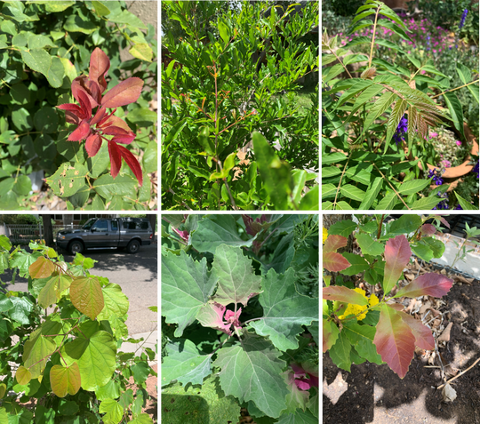 Red or purple coloration on young leaves, aka juvenile reddening, is caused by pigments that protect tender tissue from cold, heat, drought, and UV stress. From top left: rose bush, pomegranate (redness only in tiny new leaves), tree of heaven (redness only in newest leaflets). From bottom left: redbud tree, lamb's quarters, chinquapin oak. Photos taken in Albuquerque and Los Lunas on May 25, 2020.