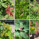 Red or purple coloration on young leaves, aka juvenile reddening, is caused by pigments that protect tender tissue from cold, heat, drought, and UV stress. From top left: rose bush, pomegranate (redness only in tiny new leaves), tree of heaven (redness only in newest leaflets). From bottom left: lamb's quarters , redbud tree, chinquapin oak. Photos taken in Albuquerque and Los Lunas on May 25, 2020.
