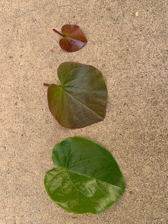 Redbud leaves collected from the same tree get progressively less green and younger from left to right.