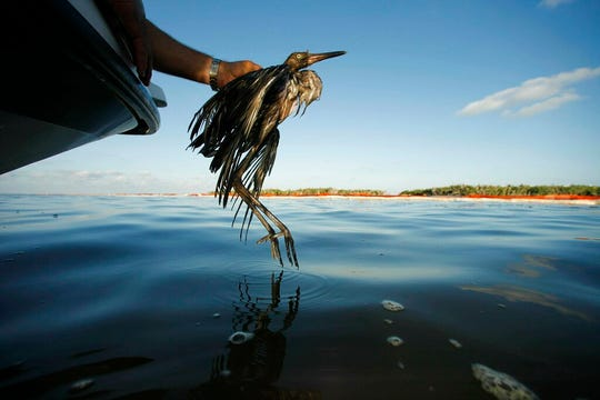 In this June 26, 2010 file photo, a heavily oiled bird is rescued from the waters of Barataria Bay, La. The Trump administration wants to end the criminal penalties under the Migratory Bird Treaty Act to pressure companies into taking measures to prevent unintentional bird deaths.