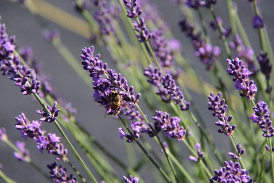 A bee gets some pollen on a Door County lavender farm.