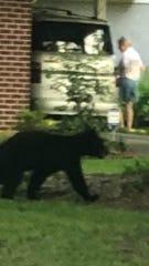 A juvenile bear crossing through a yard on Valencia Street.