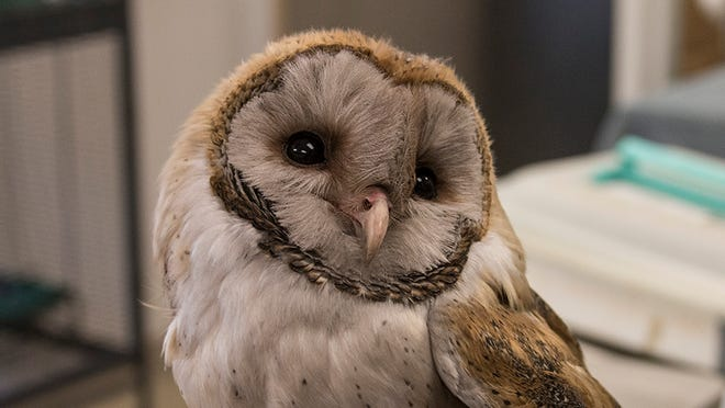 A young barn owl with a soot-covered face rescued from the chimney of an old house being cared for at Liberty Wildlife in Phoenix.