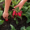 How to get the most out of your vegetable garden