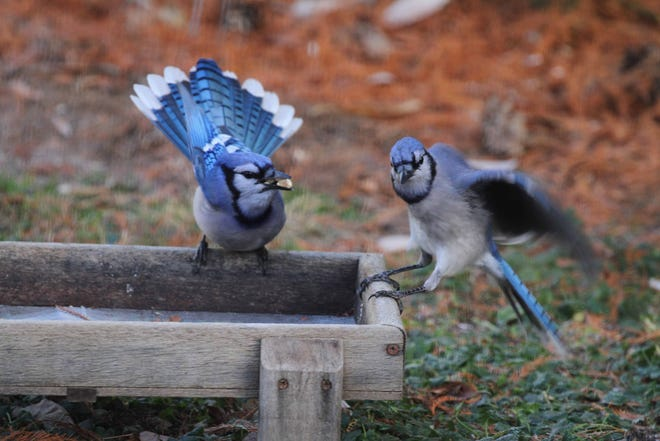 When blue jays find a stash of goodies, they call out the good news, sometimes causing a squabble.