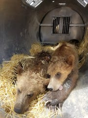 These two yearling cubs were captured along with a sow after eating grain near residences Sunday. The three bears were relocated.