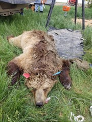 Montana Fish, Wildlife and Parks captured this female grizzly bear southwest of Shelby Sunday. It was relocated, along with two yearling cubs.