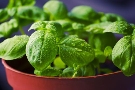 Knowing how to harvest makes all the difference with basil.