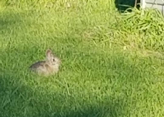 This is just one of the three different sizes of baby bunnies in our back yard this spring. We cook out a lot using the fire pit, and the varying sizes of bunnies come out to entertain us and to eat the lush grass.