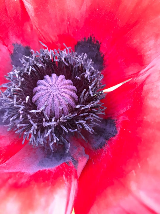 Red poppies have a magnificent structure. Submitted by Mary Lee Minor.
