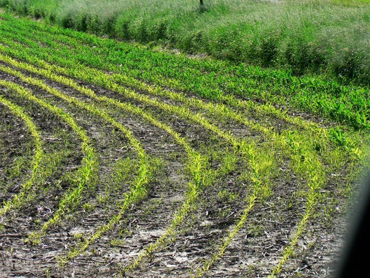 Most of the state's corn is above ground.