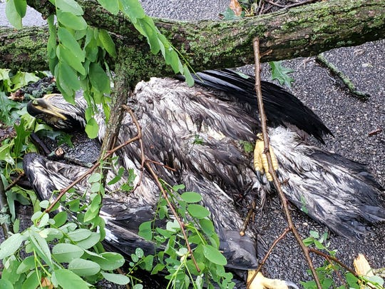 A juvenile bald eagle was found dead near a tree that was toppled on Jennings Landing in Battle Creek following storms that rolled through the region on Wednesday, June 10, 2020.