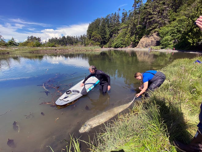 Paddleboarder Scott Herning and a scientist from Harbor Wildwatch pull the King-of-the-Salmon to the shore at Salt Creek Recreation Area near Port Angeles.