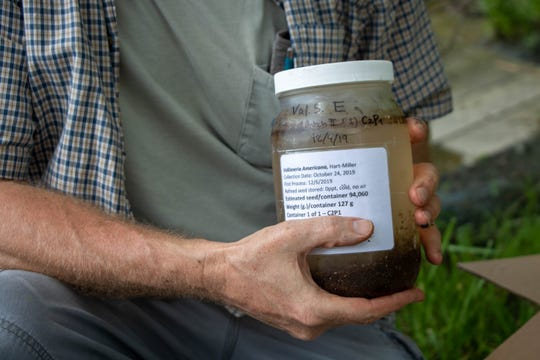 Michael Norman of Anne Arundel Community College holds a bottle of wild celery seed pods collected from the vicinity of Hart-Miller Island in October 2019. Norman and a team planted the wild celery seeds in a protected area of the Nanticoke River  June 5, 2020.