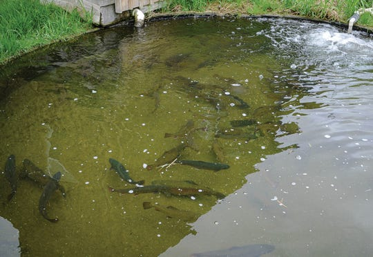 Branch River Trout Hatchery has its own brood stock of brook, brown and rainbow trout and Arctic char. They produce about 50,000 trout fry yearly, with the bulk of the fish going to pond stocking.