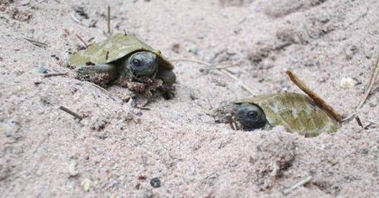 Turtles in Wisconsin.