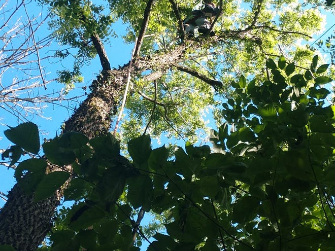Mark Clark of Clark's Tree Service rescues a cat named Cole from the top of a tree, where he had been for five days.