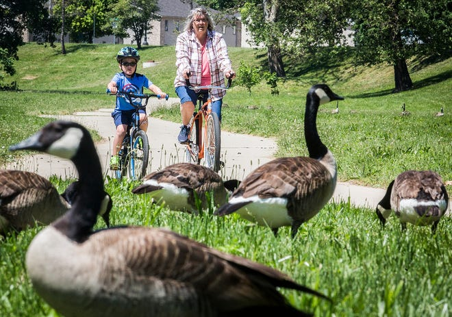 A flock of geese graze near the White River Thursday, June 11, 2020.