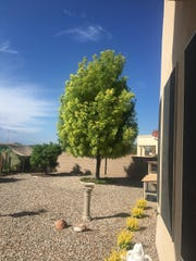 This Raywood ash in Rio Rancho is mor light lime green instead of a true green, likely due to an iron deficiency.