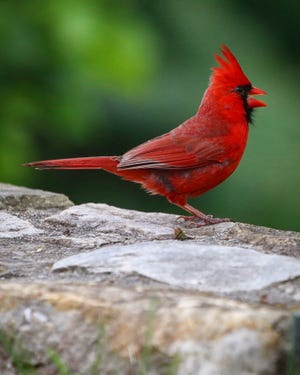 """""""Cardinal in my  front yard. """" This photo was taken in Putnam County by Poughkeepsie Journal Visuals Editor Carrie Yale."""