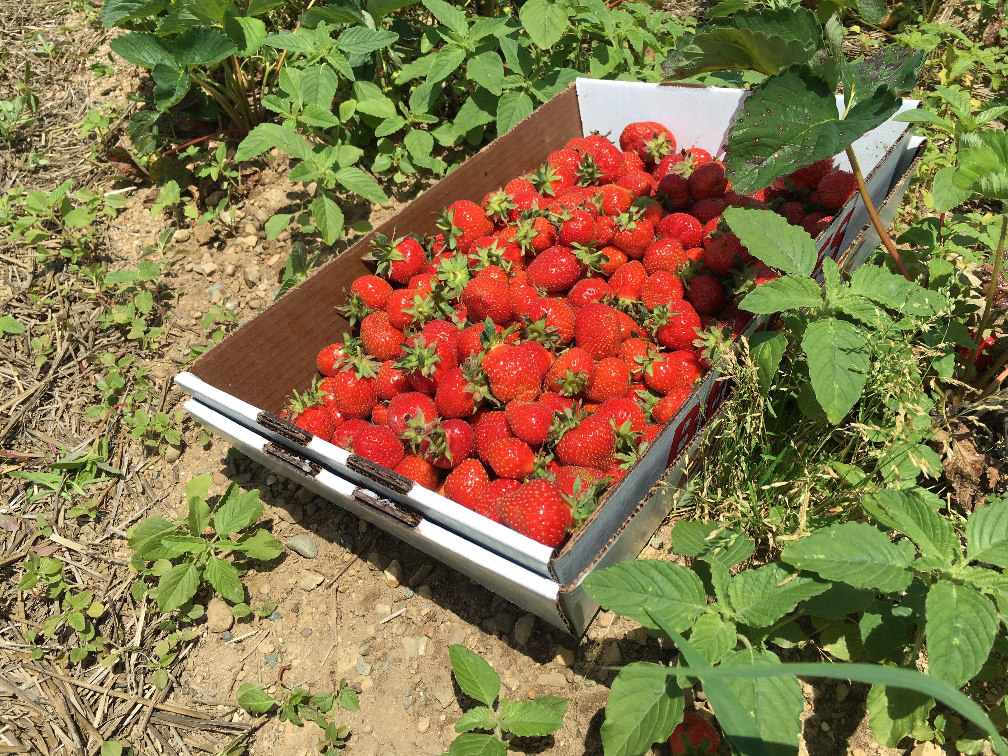 Bob Tritten, veteran Michigan State University Extensiondistrict fruit specialist, said consumers can expecta good strawberry crop this season.