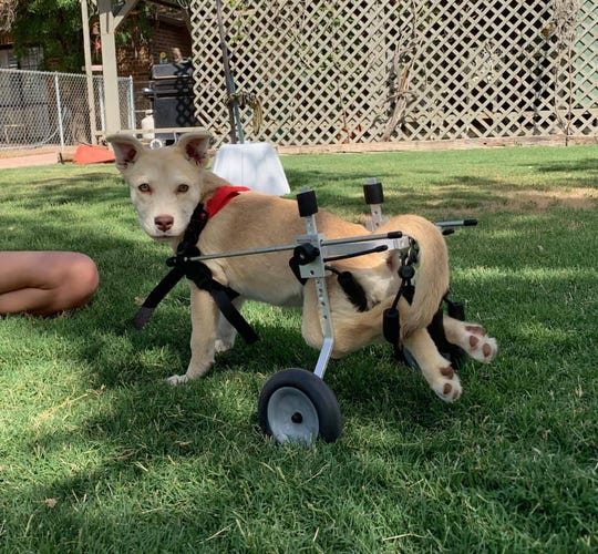 Halo, a 3-month-old husky/lab mix, was shot in the back by a pellet gun causing her hind legs to be paralyzed. She underwent surgery in hopes she will walk again.