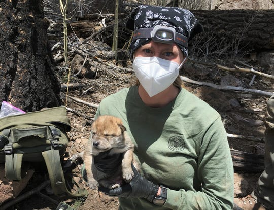A biologist with Arizona Game and Fish Department holds a Mexican gray wolf pup before placing it in its new den in the wild.
