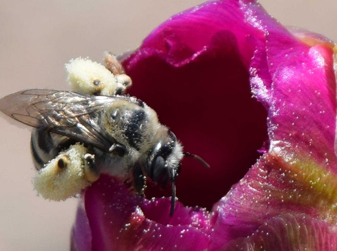 """Bees are busy pollinators. New Mexico State University and the Xerces Society for Invertebrate Conservation are presenting a six-part weekly webinar series, """"Supporting Pollinators and Beneficial Insects in Backyards and on Farms,"""" beginning June 23."""