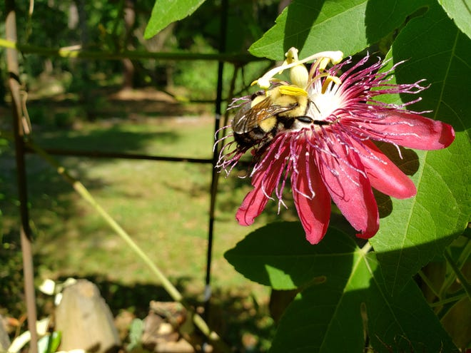 A bumble bee visiting a passion flower.